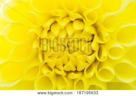 Dahlia Yellow Climax closeup macro flower head