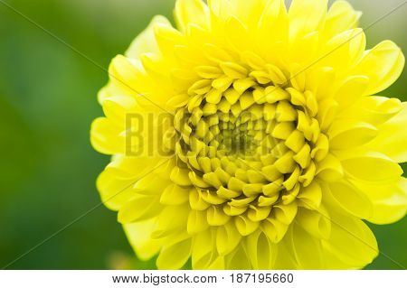 Dahlia Yellow Climax Closeup