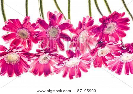 Beautiful romance pink bright daisy for background