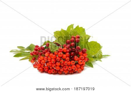 Orange mountain ash with green leaves isolated on white background