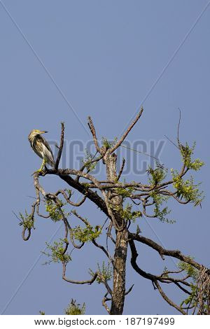 Chinese Pond Heron (Ardeola bacchus) on the tree on nature background. Wild Animals. Bird