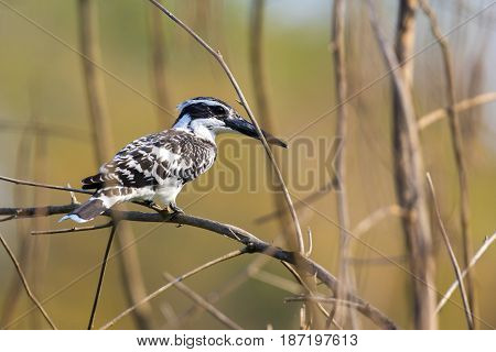 Image of Pied Kingfisher (Ceryle rudis) on the branch on nature background. Wild Animals.