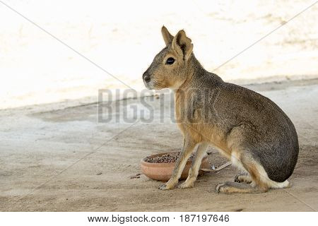 Image of a patagonian mara (Cavy). Wild Animals.