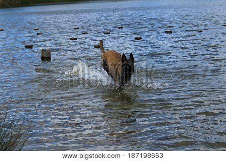 Belgian shepherd dog playing in the water