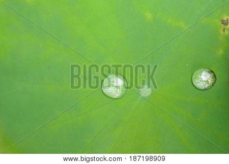 Drop of water on the lotus leaf lotus leaf texture morning dew on lotus leaf.