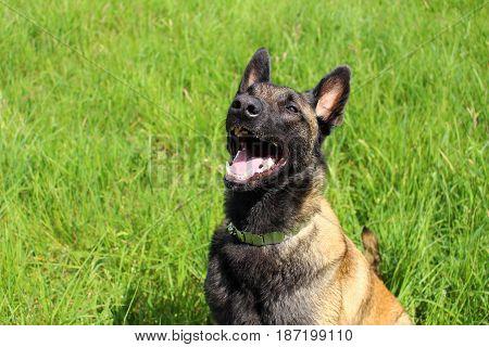 Belgian shepherd dog Malinois who blows mouth open because it has hot