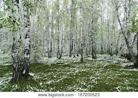 Spring landscape. Green leaves of the trees and grass covered with snow after weather changes. Russia, Siberia, the Novosibirsk Region.