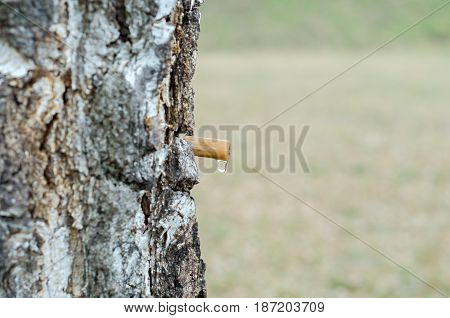 A drop of birch sap, from a tube in a tree