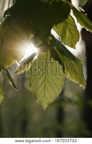 A Beech leaf in backlight of the sun