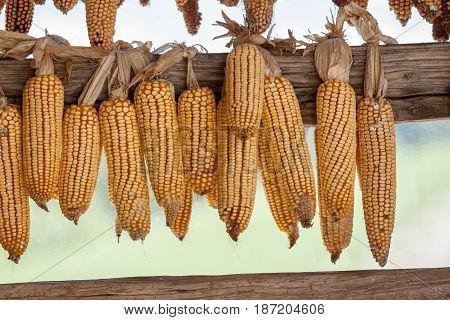Ripe dried corn cobs hanging on the old wooden plank