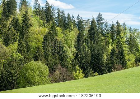 green field fir tree forest and bluesky background