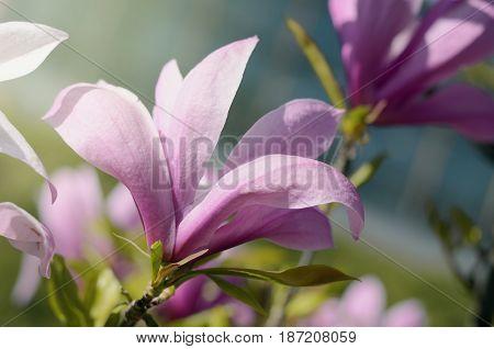 Soft focus image of beautiful pink magnolia flowers under sun light. Beautiful spring season background