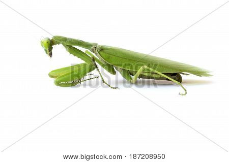 Image of a green mantis on white background. Insect.