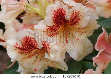 Rhododendron Hybride Peggy, herald of spring, flower of the gardens