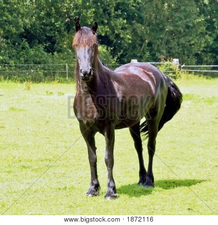 Brown Dutch Horse