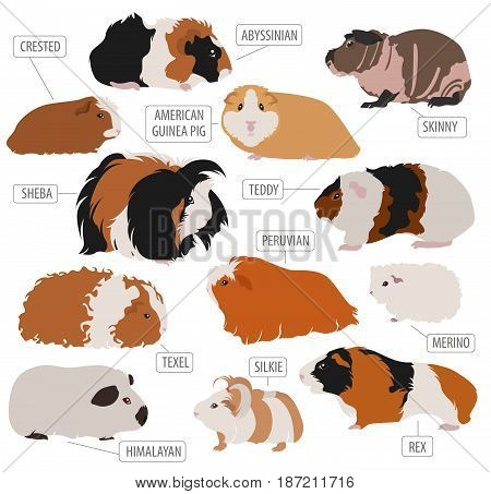 Pets_rodents_guinea Pig_4