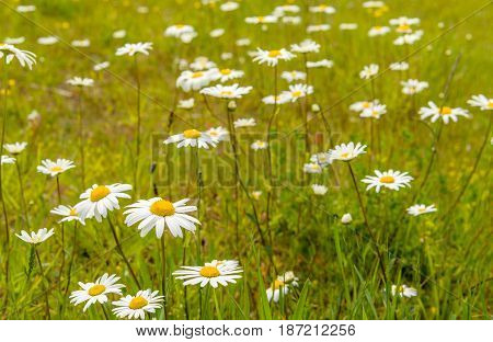 Closeup of spicy smelling yellow hearted and white flowering oxeye daisy or Leucanthemum vulgare plants between grasses and other wild plants. It is springtime now.