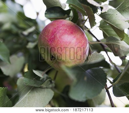 Apple On The Tree In Nature Red Ripe