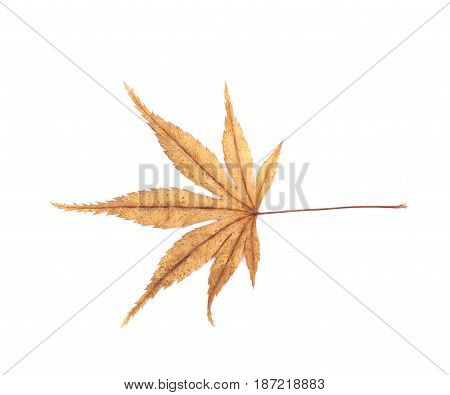 Japanese maple leaf isolated over the white background