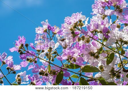 The lagerstroemia indica were blooming in nature