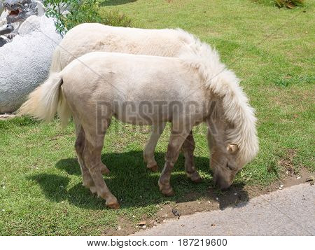 Miniature horses are the size of a very small pony, many retain horse characteristics and are considered horses by their respective registries.