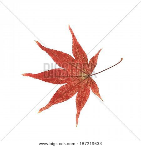 Red Japanese maple leaf isolated over the white background