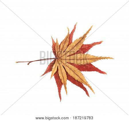 Japanese red and yellow maple leaves isolated over the white background