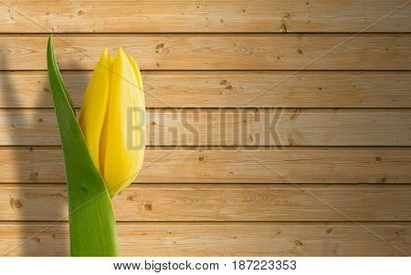 Yellow tulip on a wooden board background