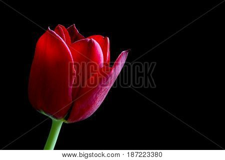 Close up red tulip on a black background
