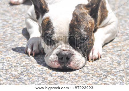 laying down French bulldog on the floor sleepy dog