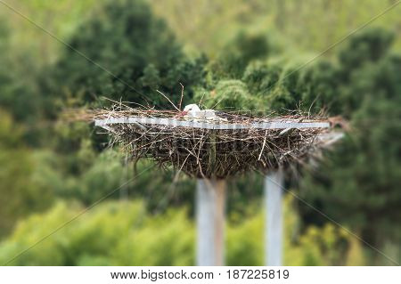 Nice Adult stork sits on his nest.