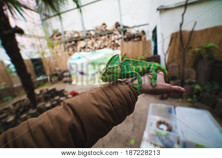 a young chameleon sits in your hands