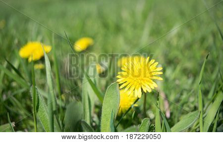 Yellow dandelion close-up against a background of green grass and dandelions blurred