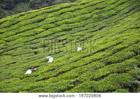 CAMERON HIGHLANDS MALAYSIA- 30 DECEMBER 2016: Tea Worker picking tea leaves in a tea plantation Cameron Highlands Malaysia.