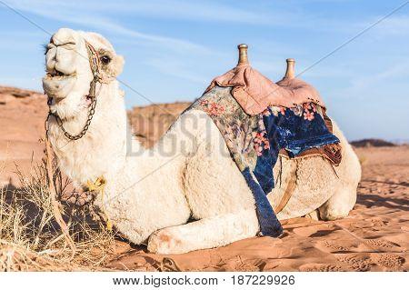 Saddled bedouin camel sitting down in desert