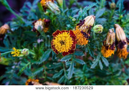 The Yellow-Red calendula flower in the garden with green blade background