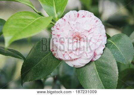Japanese Camellia (camellia Japonica) Pink Flower