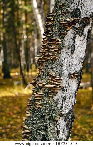 Medicinal mushrooms chaga on the birch in the forest.