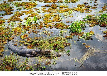 Yacare caiman (Caiman Yacare) Wetlands in Nature Reserve Esteros del Ibera Colonia Carlos Pellegrini Corrientes Argentina.