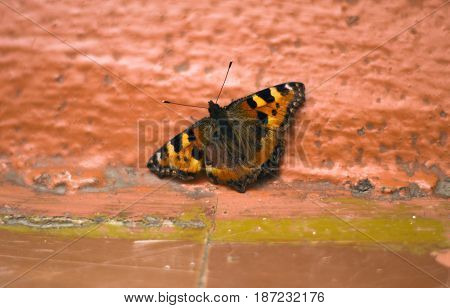 Butterfly urticaria on a floor. Beautiful insects.
