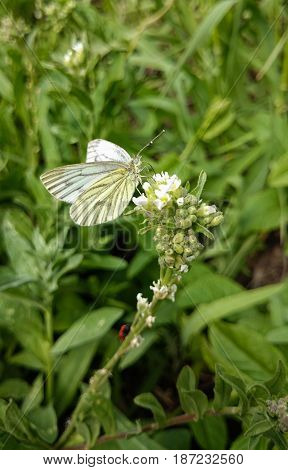 White butterfly on a flower. Purity concept.
