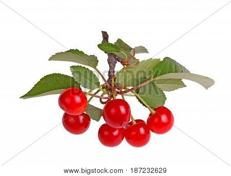 Branch with several leaves and ripe red fresh fruits of sour cherry (Prunus cerasus) isolated against a white background