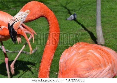La cabeza de un flamenco rosa en primer plano
