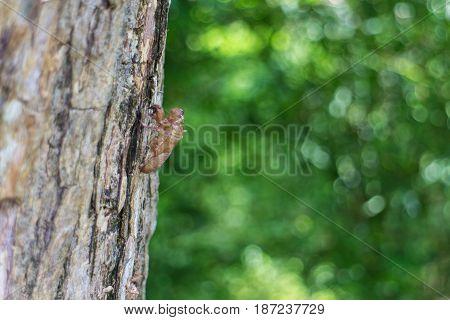 The cicada exuvia hang on the tree