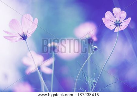 Cosmos flower on a delicate background . Selective soft focus