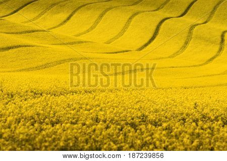 Yellow rapeseed field with wavy abstract landscape pattern. Yellow undulating fields of crops. Spring rural landscape.Moravian rolling landscape on sunset in yellow  colors. Europe, Czech Republic.