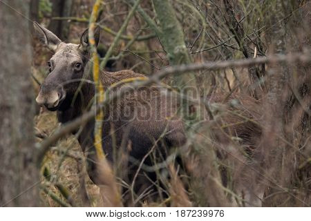 Single European elk standing in a belorussian forest under first snow falling. Moose is awake but relaxed and looking at me in the distance. Wild Bull Moose in Bialowieza National Park, Belarus.