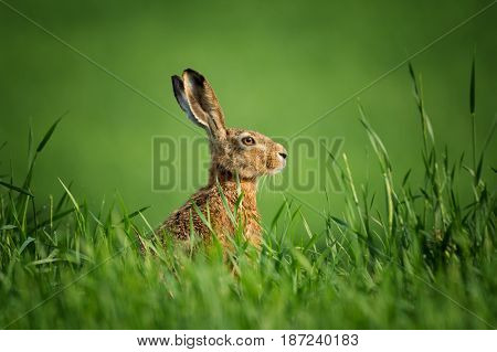 Wild hare close-up,covered with drops of dew, sitting in the green grass under the sun. Lonely wild brown hare sitting on the green field of wheat.European wild hare on green background.Head of rabbit