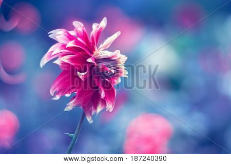 Dahlia flower on a blue background. Selective soft Fox
