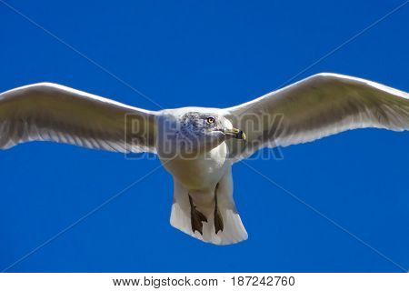 Pigeon Gliding Flying In Front Of Deep Blue Sky Liberty Island